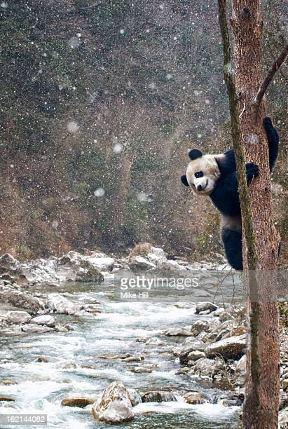 giant panda climbing a tree beside a river - giant panda stock photos and pictures