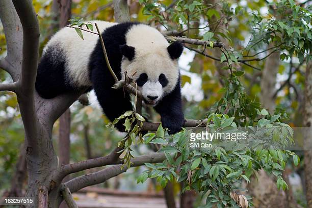 Giant Panda climbing a tree in China