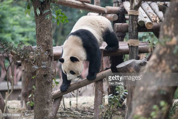 Giant panda climbing at Chengdu Research Base of Giant Panda Breeding on December 14, 2018 in Chengdu, China. The research base is famous for the...