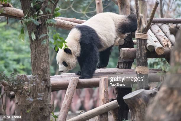 Giant panda climbing at Chengdu Research Base of Giant Panda Breeding on December 14, 2018 in Chengdu, China.The research base is famous for the...