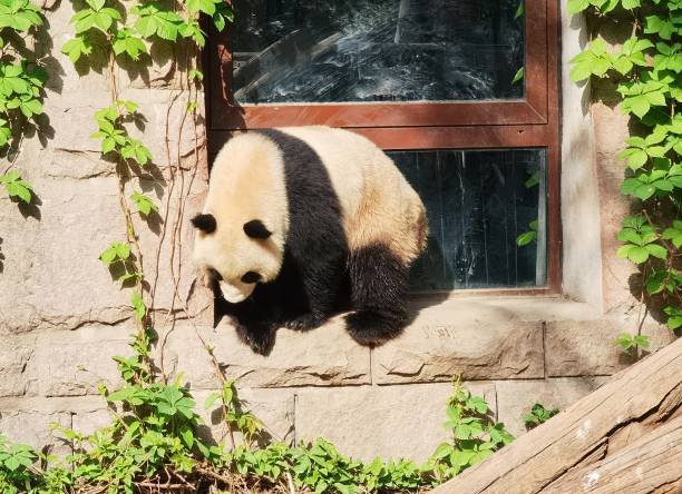 CHN: Giant Panda Climbs The Window In Beijing