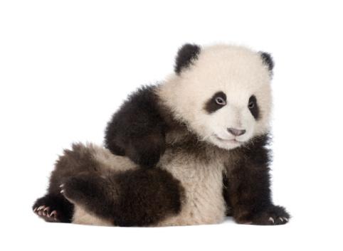 Giant Panda cub (4 months) - Ailuropoda melanoleuca 93216581