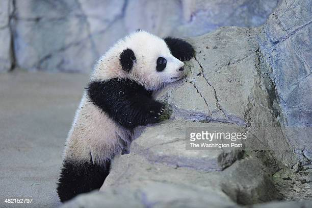 Giant panda cub Bao Bao explores an enclosure in front of the media at Smithsonian National Zoological Park on Monday January 06 2014 in Washington DC