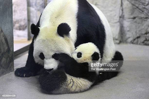 Giant panda cub Bao Bao right interacts with her mother Mei Xiang left at the Smithsonian National Zoological Park on Tuesday January 07 2014 in...