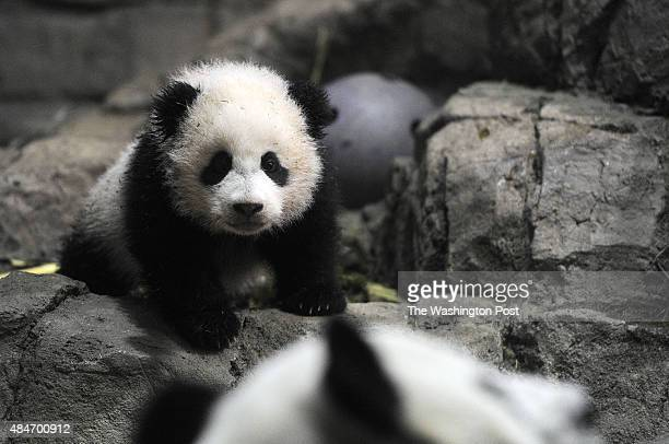 Giant panda cub Bao Bao top looks at her mother Mei Xiang within an enclosure in front of the media at Smithsonian National Zoological Park on Monday...