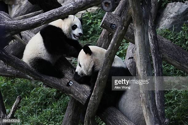 Giant panda cub Bei Bei plays with his mother Mei Xiang at the David M Rubenstein Family Giant Panda Habitat of the Smithsonian National Zoological...