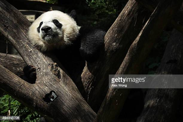 Giant panda cub Bei Bei props himself up on logs at the David M Rubenstein Family Giant Panda Habitat of the Smithsonian National Zoological Park...