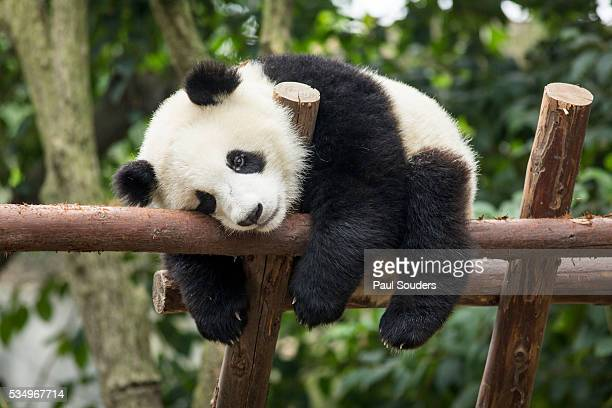 giant panda cub, chengdu, china - giant panda stock pictures, royalty-free photos & images