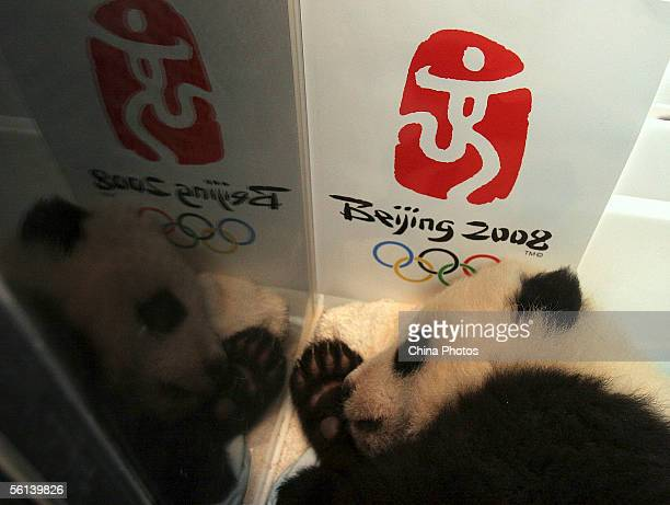 A giant panda cub lies in an incubator decorated with a logo of Beijing 2008 Olympic Games at the China Giant Panda Protection and Research Center in...