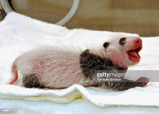 A giant Panda cub one of twin sisters is seen at Adventure World on December 19 2014 in Shirahama Wakayama Japan The twin panda born on December 2...