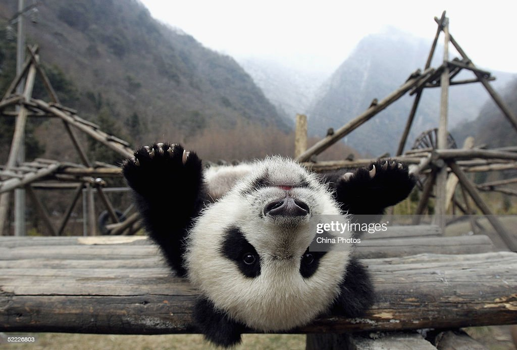 Giant Pandas Play At The Wolong Giant Panda Bear Research Centre : News Photo