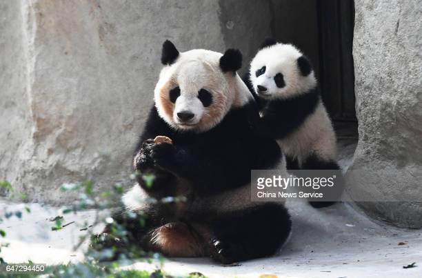 Giant panda cub Qi Yi with mother Qi Yuan at Chengdu Research Base of Giant Panda Breeding on February 28 2017 in Chengdu Sichuan Province of China A...