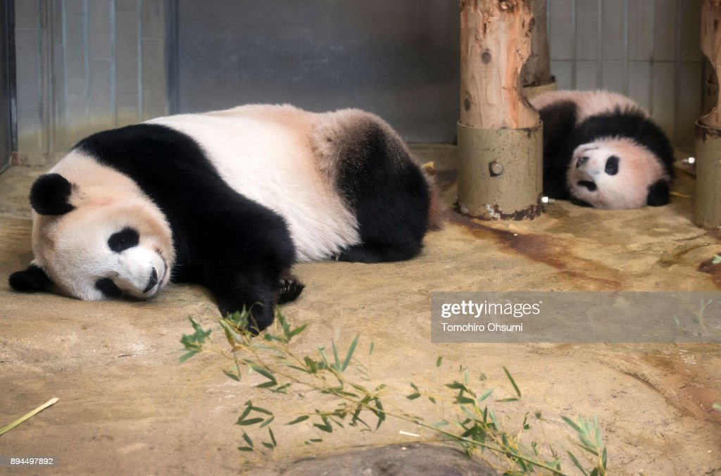 Giant Panda Cub Xiang Xiang To Open To Public