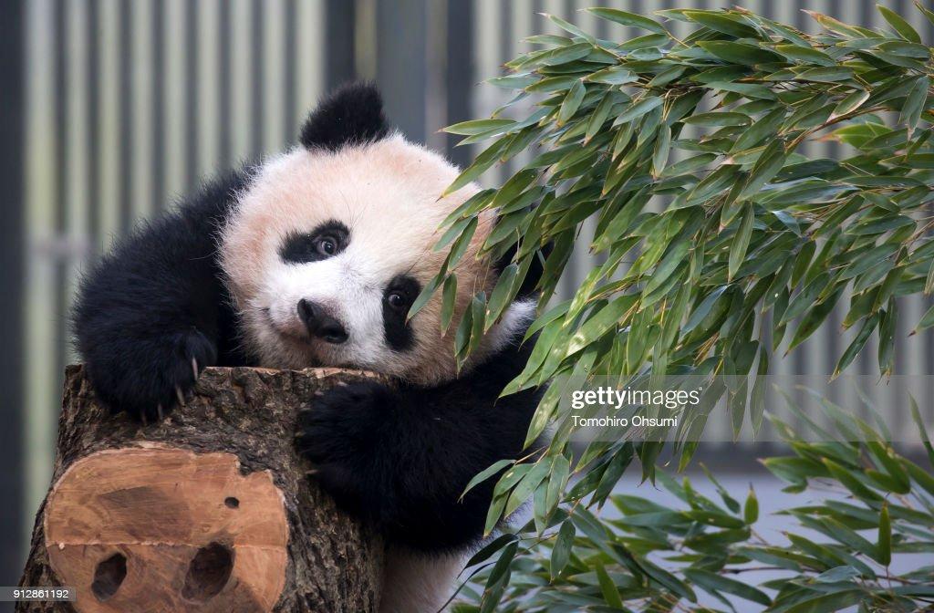 Visitors Flock As Giant Panda Cub Xiang Xiang Goes Open To General Public : ニュース写真