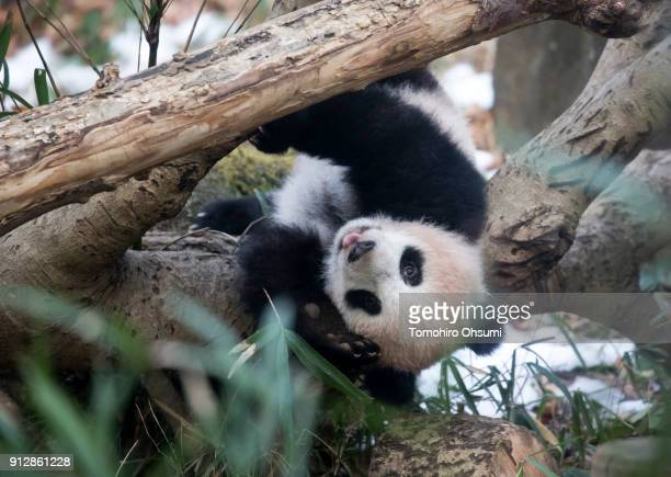 Giant panda cub Xiang Xiang plays on a tree at Ueno Zoological Gardens on February 1 2018 in Tokyo Japan The sevenmonthold panda cub went on view for...