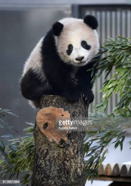 Giant panda cub Xiang Xiang sits on a tree at Tokyo's Ueno Zoological Gardens on Feb 1 2018 Around 1200 people queued up to see Xiang Xiang and...