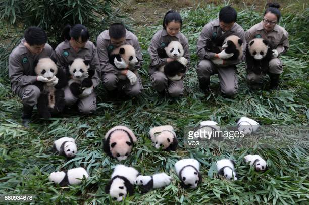 17 giant panda cubs all born this year meet the public at the Bifengxia Base of the China Conservation and Research Centre for the Giant Panda on...