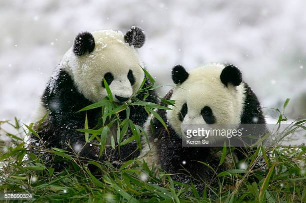 giant panda cubs in snowfall - giant panda stock pictures, royalty-free photos & images