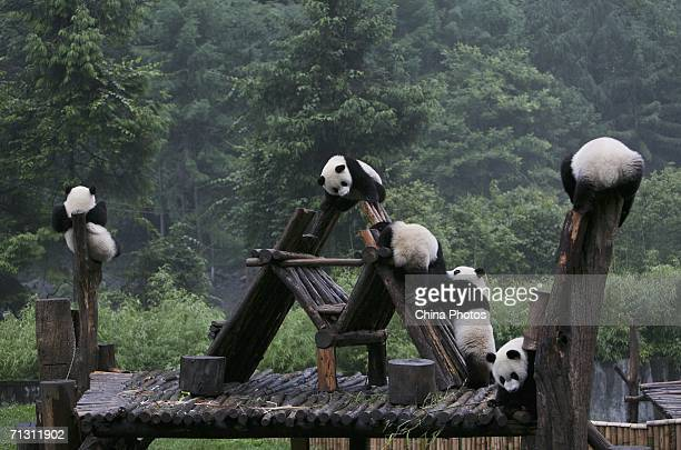 Giant panda cubs play at the China Giant Panda Protection and Research Centre home to about 80 artificially bred pandas on June 27 2006 in Wolong...