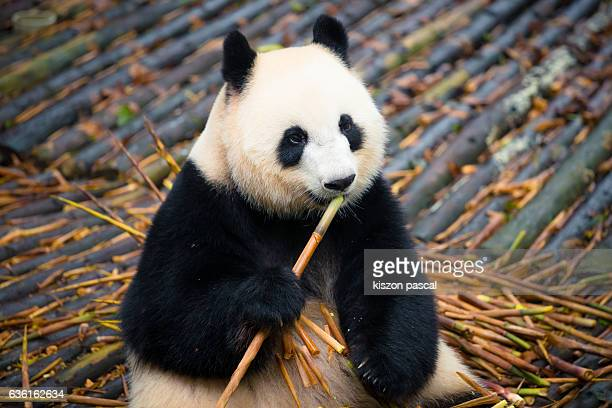 Giant panda eating bamboo in Chengdu panda base ( Sichuan ; China )