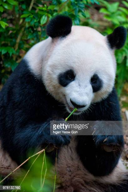 giant panda (ailuropoda melanoleuca) eating bamboo in river safari zoo, singapore - giant panda stock pictures, royalty-free photos & images