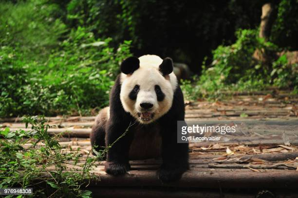 Giant panda (Ailuropoda melanoleuca) eating, Chengdu, China