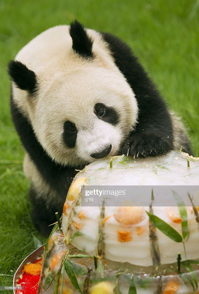 A Giant Panda Eats An Ice Cake As A Grou Pictures Getty Images