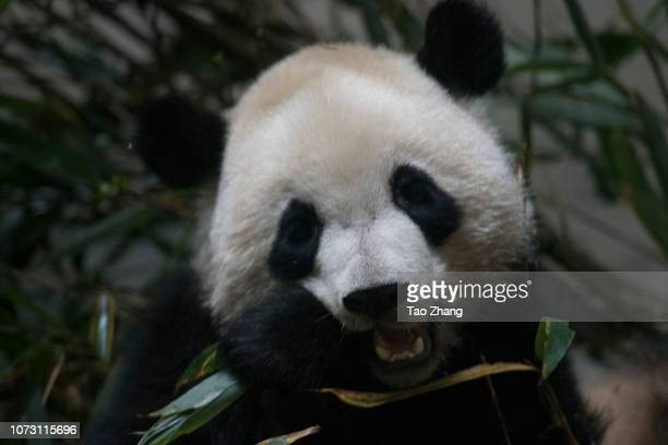 Giant panda eats bamboo at Chengdu Research Base of Giant Panda Breeding on December 14, 2018 in Chengdu, China.The research base is famous for the...