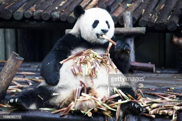 Giant Panda eats bamboo at the Chengdu Giant Panda Breeding Research Base on September 24 2018 in Chengdu China