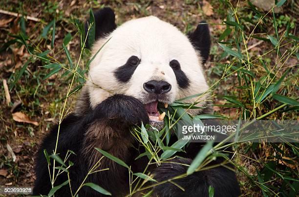 A Giant Panda eats bamboo at the Smithsonian National Zoological Park in Washington DC December 28 2015 AFP PHOTO / JIM WATSON / AFP / JIM WATSON