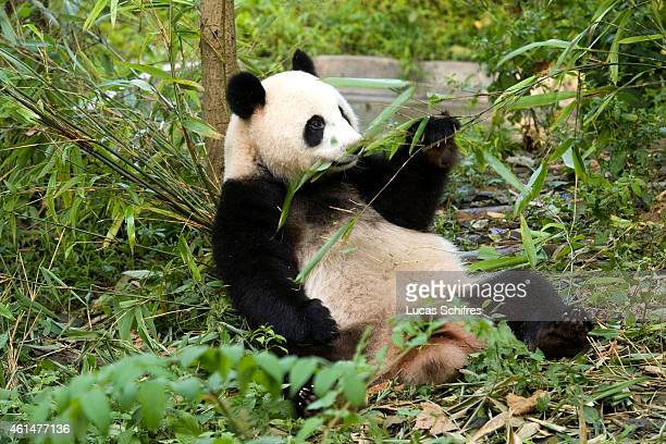 A giant panda eats bamboo in a relaxed manner in the Panda Breeding and Research Center on September 12 2010 in Chengdu China