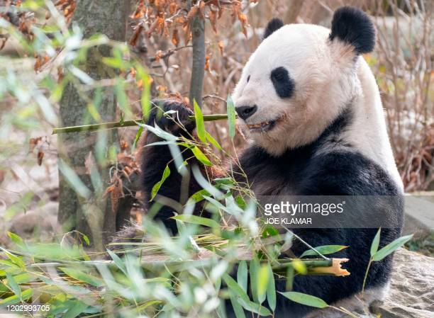 Giant Panda eats bamboo in its enclosure at the Schoenbrunn zoo in Vienna, Austria, on February 24, 2020.