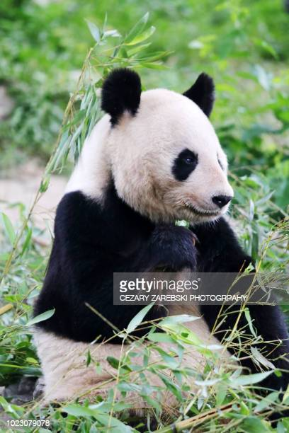 a giant panda eats bamboo - giant panda stock pictures, royalty-free photos & images