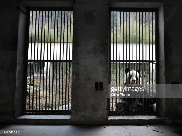 A giant panda eats food at the China Conservation and Research Center for the Giant Panda on February 3 2011 in Wolong Nature Reserve Aba Tibetan and...