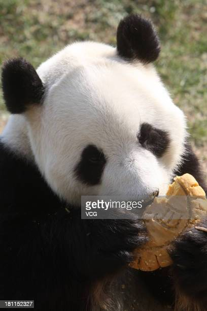 A giant panda eats 'Mooncake' at a zoo on MidAutumn Day on September 19 2013 in Yantai Shandong Province of China MidAutumn Day is a harvest day...