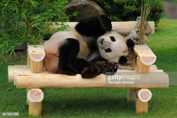 Giant panda Eimei plays on a bench presented on his 25th birthday at the Adventure World on September 14 2017 in Shirahama Wakayama Japan
