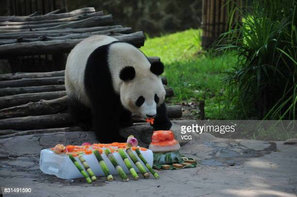 Giant panda Fubao eats ice cake during its fourth birthday at Dujiangyan base of the Giant Panda Protection and Research Center of China on August 14...