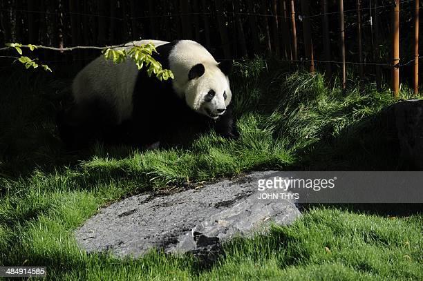 Giant panda Hao Hao walks in its pen at Pairi Daiza animal park in Brugelette on April 15 2014 AFP PHOTO / JOHN THYS