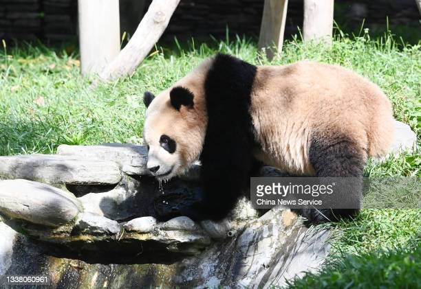 Giant panda has fun during the early autumn at the Shenshuping Base of China Conservation and Research Center for Giant Panda on September 3, 2021 in...