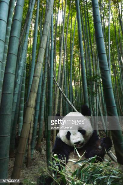 giant panda in bamboo forest - panda animal stock photos and pictures