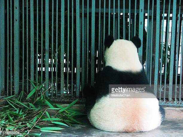 Giant panda in jail