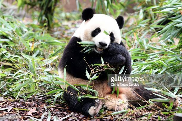 Giant panda is seen at Chengdu Research Base of Giant Panda Breeding on August 7, 2020 in Chengdu, Sichuan Province of China.