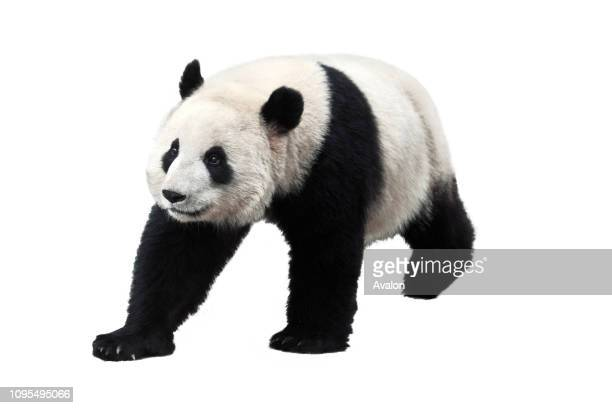 Giant panda isolated on white background Giant pandas are no longer an endangered species.