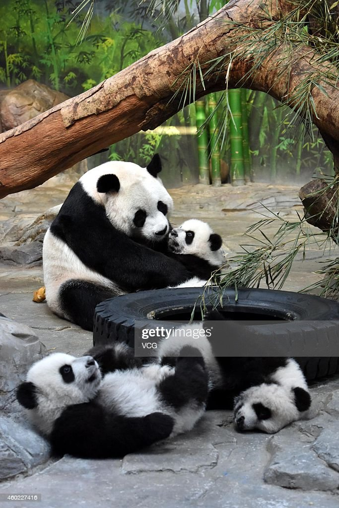 Giant panda Juxiao plays with her cubs, the world's only panda triplets, at Chimelong Safari Park on December 9, 2014 in Foshan, China. The world's only giant panda triplets (two males and a female) started living with their mother Juxiao after taking turns living with her since their birth at the Chimelong Safari Park on Tuesday. The triplets were born on July 29 and now weigh over 8 kg. They will stay with their mother and be viewed by visitors at 13:00 - 15:00 and 16:00 - 18:00 from Tuesday.