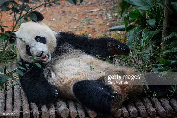 Giant Panda Kai Kai is seen in the Giant Panda enclosure during a media tour ahead of the opening of River Safari at the Singapore Zoo on March 25...