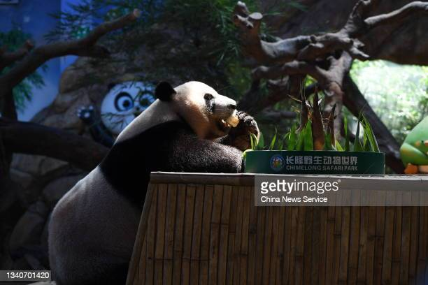Giant Panda Kuku enjoys a mooncake at Chimelong Safari Park before the Mid-Autumn Festival on September 16, 2021 in Guangzhou, Guangdong Province of...
