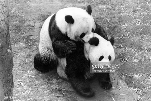 Giant panda Lan Lan and Kang Kang mating at Ueno Zoo on May 26 1979 in Tokyo Japan