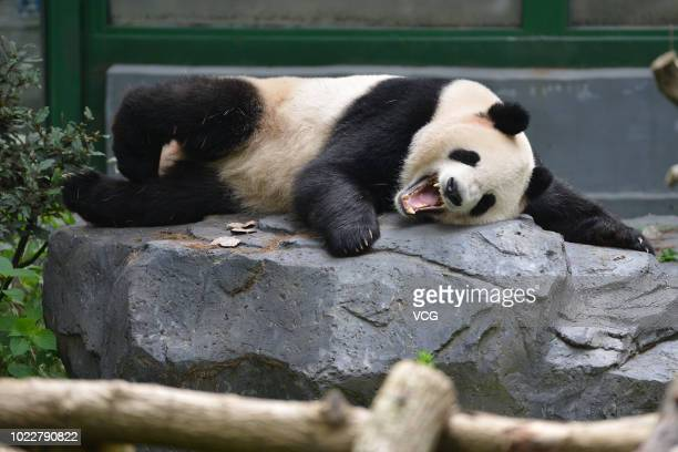 Two giant pandas are seen at Nanjing Hongshan Forest Zoo on August 20 2018 in Nanjing Jiangsu Province of China Giant pandas play in cool weather at...
