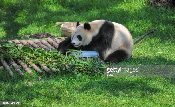 A giant panda lies on an ice brick to cool off at Shenyang Forest Wild Zoo on July 17 2018 in Shenyang Liaoning Province of China According to China...