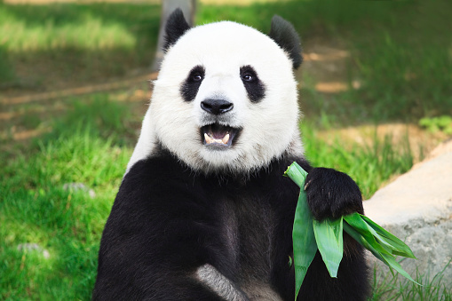Giant Panda looking into camera holding green leaves 93807916